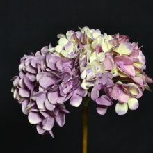 hortensia rose effet fané