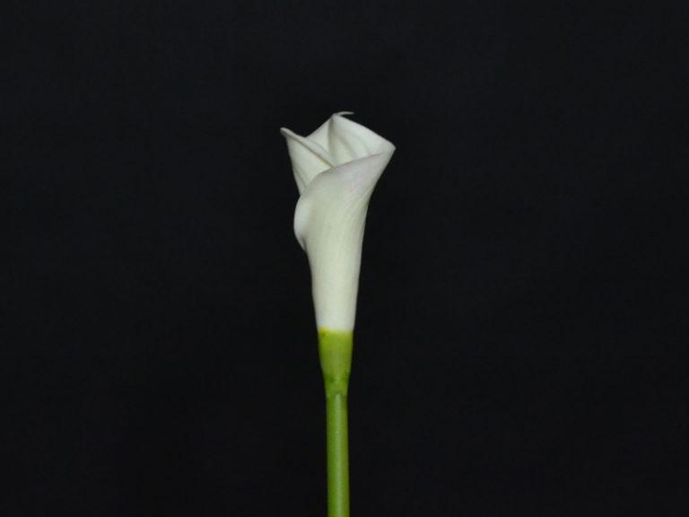 calla blanc