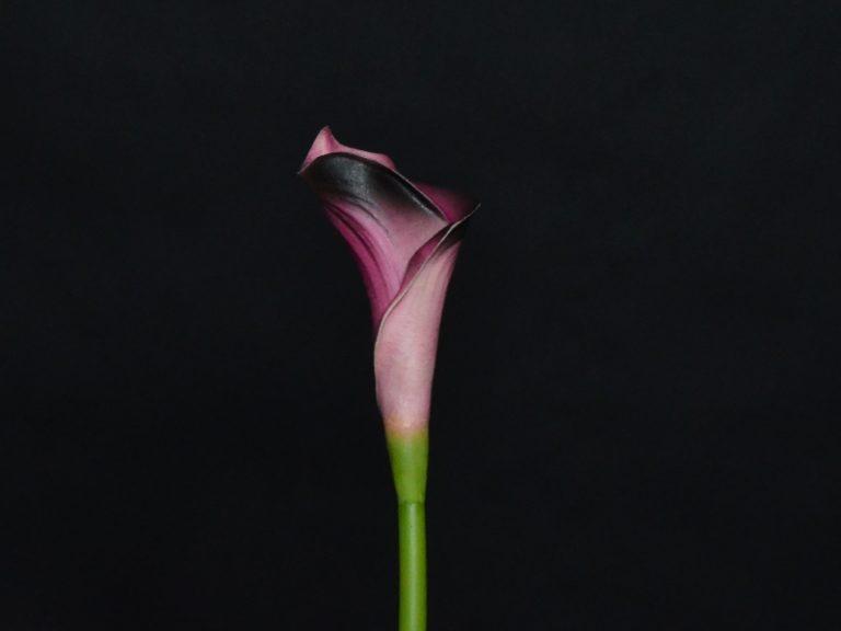 calla rose foncé
